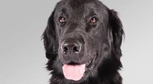 Chesapeake Bay Retriever Shed Hunting by Flat Coated Retriever Dog Breed Information American Kennel Club