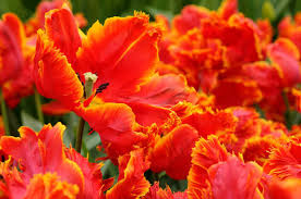 parrot tulips flower bulbs of the year 2013