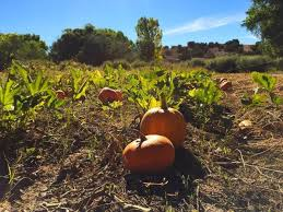 Las Cruces Pumpkin Patch Maze by 7 Family Friendly Fall And Harvest Festivals In New Mexico