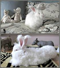 More panies Ban Angora Is Your Favorite on the List