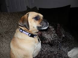 Black Mouth Cur Shed Hunting by Doggie Heaven Hotel Things To Do With Dogs