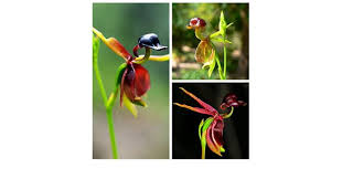 20pcs flying duck orchid seeds caleana major orchid flowers seed