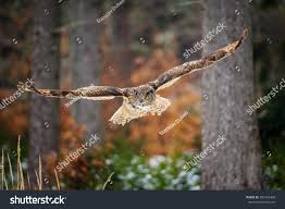 Flying Eurasian Eagle Owl Colorfull Winter Stock Photo 300125468 ... Flying Eurasian Eagle Owl Colorfull Winter Stock Photo 304031924 Barn Facts Pictures Diet Breeding Habitat Behaviour Best 25 Owl Sounds Ideas On Pinterest Owls Beautiful Wowzers Blog Centre Gloucester Wikipedia 10 Fascating About Bckling Estate A Barn Owls Home National Trust Birds Of Prey Shavers Creek Raptor Center Kohrphotos The Barn Owl Wallpapersbirds Unique Nature Hd Wallpapers