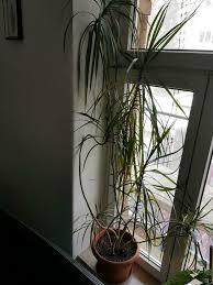 yuka palme hoch zimmerpflanze groß