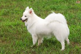 Do Miniature Pinschers Shed A Lot by Japanese Spitz Dog Breed Information Buying Advice Photos And
