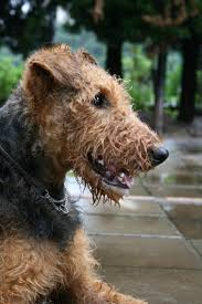 Do Airedale Puppies Shed by 50 Best Airedale Terrier Images On Pinterest Airedale Terrier