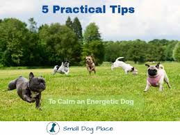 Best Non Shedding Small Dogs by Small Dog Place Blog