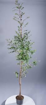 echter eukalyptus à italia eucalyptus gunnii günstig