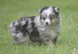 Do All Dogs Shed Fur by Answers To Your Questions About Toy Mini Aussies Teacup Miniature