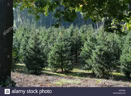Nordmann Fir Christmas Tree Seedlings by Nordmann Fir Christmas Stock Photos U0026 Nordmann Fir Christmas Stock