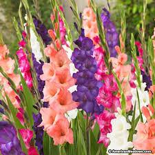 sunset gladiolus mix american