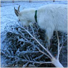 Are Christmas Tree Needles Toxic To Dogs by Christmas Trees And Goats Idlewild Alaskaidlewild Alaska