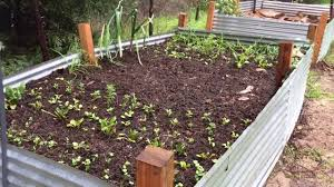 How To Start A Spring Vegetable Garden With Volunteer Seedlings ... 38 Homes That Turned Their Front Lawns Into Beautiful Perfect Drummondvilles Yard Vegetable Garden Youtube Involve Wooden Frames Gardening In A Small Backyard Bufco Organic Vegetable Gardening Services Toronto Who We Are S Front Yard Garden Trends 17 Best Images About Backyard Landscape Design Ideas On Pinterest Exprimartdesigncom How To Plant As Decision Of Great Moment Resolve40com 25 Gardens Ideas On