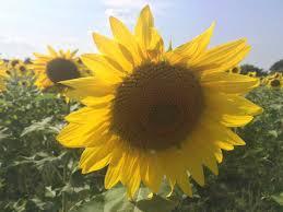 Wheatfield Pumpkin Farm North Tonawanda Ny by Western New Yorkers Flock To Sunflower Field In Sanborn Wivb Com