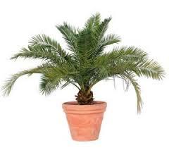 comment planter palmier pot