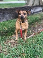 Doxle Dog For Adoption in Davie FL USA