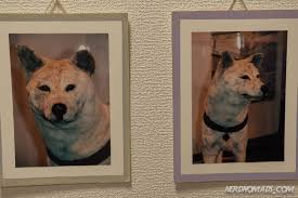 Do American Akitas Shed by The Amazing And True Story Of Hachiko The Dog