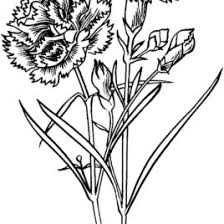 Carnation Flowers Coloring Pages Printable Free For Kindergarten