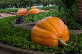 Pumpkin Patch In Colorado Springs Co 2013 by My Chicago Botanic Garden Archive October 2013