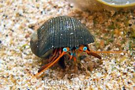 Halloween Hermit Crab Care by Reef Safe Hermit Crabs Information And Facts