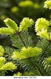 Nordmann Fir Christmas Tree Seedlings by Nordmann Fir Christmas Tree Stock Photos U0026 Nordmann Fir Christmas