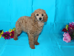 Do F1 Aussiedoodles Shed by Quality Aussie Doodle Puppies For Sale