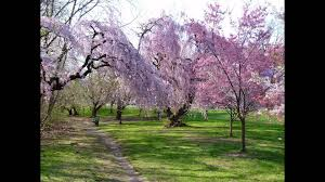 Cherry Blossoms at Branch Brook Park Newark NJ