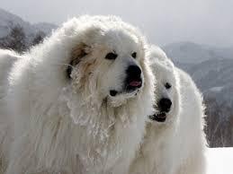 great pyrenees information characteristics facts names