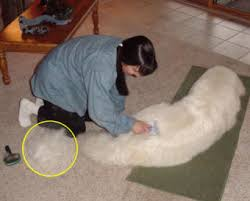 great pyrenees shedding coat blowing