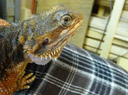 Bearded Dragon Shedding A Lot by Shedding Problems U2022 Bearded Dragon Org