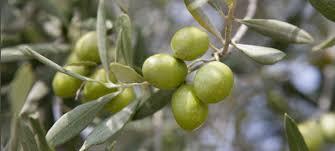 la culture de l olivier de provence en pot mon olivier de provence