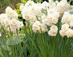 tulipa pink impression tulip bulbs tulip bulbs cut flowers