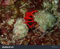 Decorator Crabs And Sea Sponges by Red Reef Hermit Crabs Looe Key Stock Photo 401521390 Shutterstock