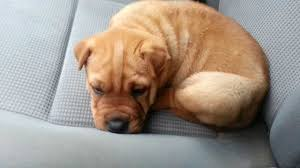 Do Shar Pei Lab Mix Shed by What Is A Pit Bull Shar Pei Mix Called Cuteness