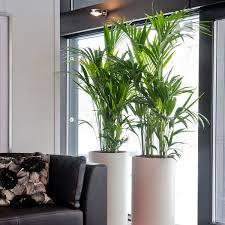 pflegeleichte zimmerpflanze kentia palmen gedeihen auch bei