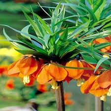 fritillaria imperialis 1 flower bulb buy order now