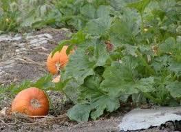 Connecticut Field Pumpkin For Pies by Growing Pumpkins