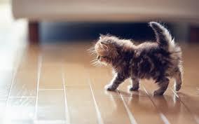 kitty cat fluffy kitty cat 7033214