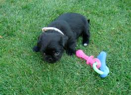 Best Mini Dogs That Dont Shed by Images Of Small Dogs That Don T Shed Dowload