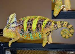 Basking Lamp For Chameleon by Veiled Chameleon Chameleon Forums