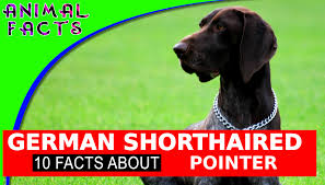 German Shorthaired Pointer Shedding by German Shorthaired Pointer Dogs 101 Fun Facts U0026 Information Dog