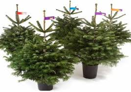 Nordmann Fir Christmas Trees Wholesale by Product Tags Potted Nordman Fir Real Christmas Tree Archive
