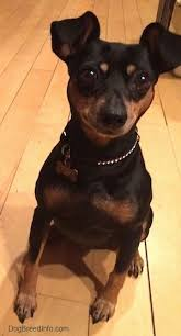 do miniature pinscher mix shed miniature pinscher breed information and pictures