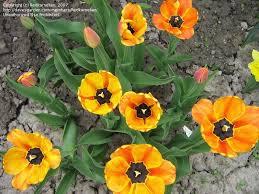 plantfiles pictures darwin hybrid tulip apeldoorn s elite
