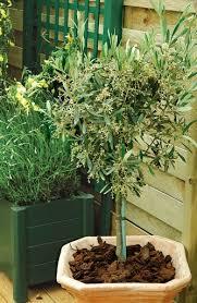réussir l arrosage d un olivier planté en pot