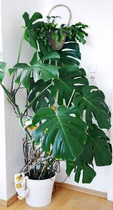 zimmerpflanze monstera deliciosa in 65232 taunusstein for