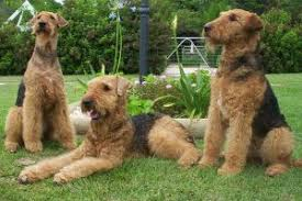 Cute Non Shedding Dog Breeds by The 7 Cutest Non Shedding Dog Breeds Are So Huggable U2013 Cutestist