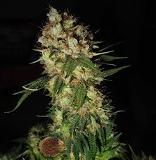 9 best Emerald Triangle Seeds images on Pinterest