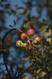 Apples of Eden Saving the Wild Ancestor of Modern Apples