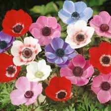 buy anemone de caen mix anemone bulbs marshalls seeds